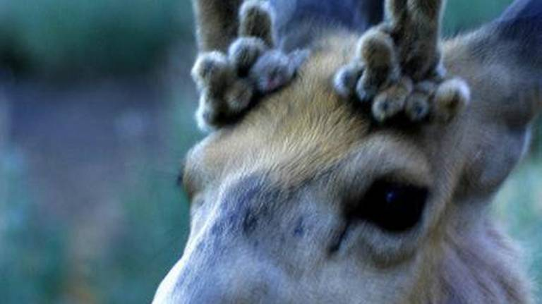 Carrie Wilson on Outdoors: Why don't some deer shed their antlers?
