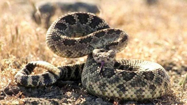 Carrie Wilson on Outdoors: Relocating rescued rattlesnakes
