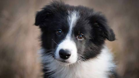 Border Collie Story For Testing (Please Don't Modify)